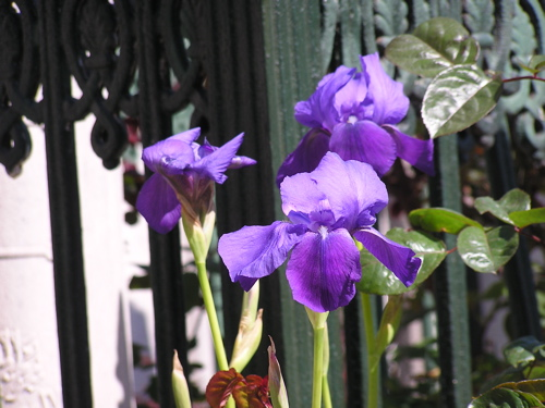 iris-among-the-tombs.jpg