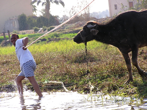 pulling-by-the-water-buffalo.jpg