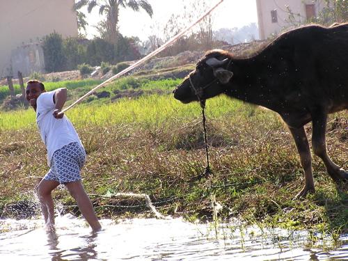 pulling-by-the-water-buffalo.jpg