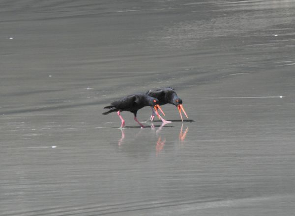 black oyster catcher 6
