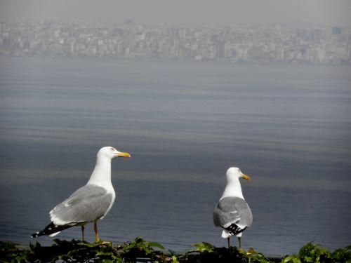 gulls on Burgaz