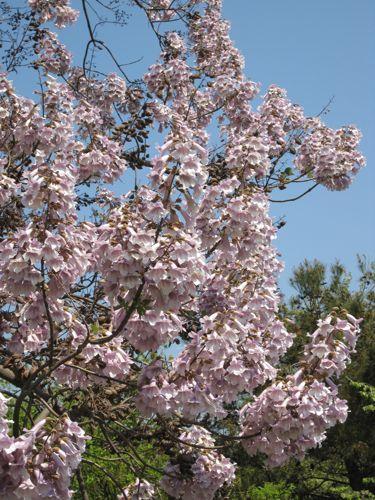 horn blossom tree