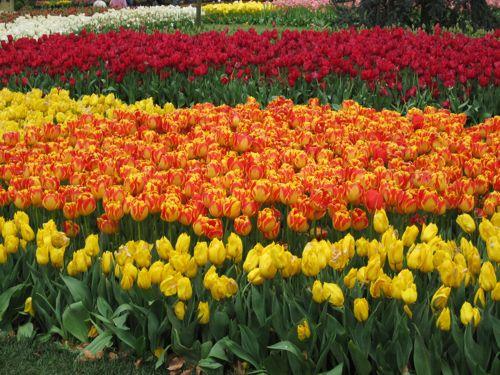 tulips-Emirgan 2010